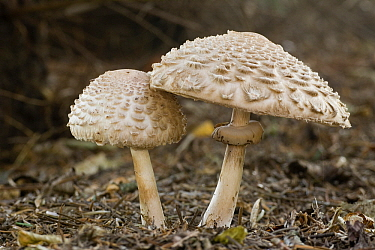 Shaggy Parasol (Chlorophyllum rachodes) mushrooms in the forest, Feldberg, Germany  -  Willi Rolfes/ NIS