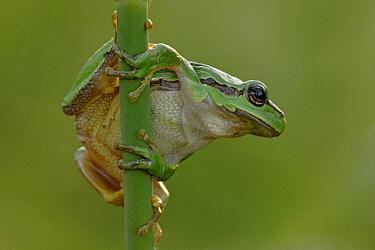 European Tree Frog (Hyla arborea), De Brand, Netherlands  -  Silvia Reiche