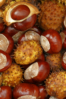 Horse Chestnut (Aesculus hippocastanum) fruit, Hoogeloon, Netherlands  -  Silvia Reiche