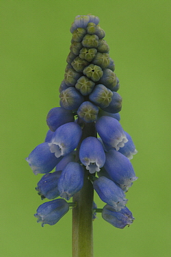 Grape Hyacinth (Muscari botryoides), Hoogeloon, Netherlands  -  Silvia Reiche