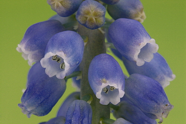 Grape Hyacinth (Muscari botryoides) blooming, Hoogeloon, Netherlands  -  Silvia Reiche