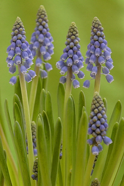 Grape Hyacinth (Muscari botryoides) flowering, Hoogeloon, Netherlands  -  Silvia Reiche