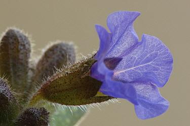 Common Lungwort (Pulmonaria officinalis) flower, Hoogeloon, Netherlands  -  Silvia Reiche