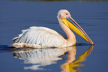 Great White Pelican (Pelecanus onocrotalus), Lake Nakuru, Lake Nakuru National Park, Kenya  -  Winfried Wisniewski