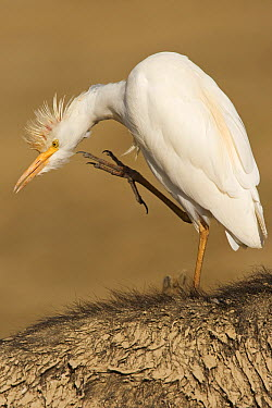 Cattle Egret (Bubulcus ibis) scratching itself while on the back of Cape Buffalo (Syncerus caffer), Lake Nakuru National Park, Kenya  -  Winfried Wisniewski
