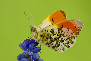 Orange Tip (Anthocharis cardamines) butterfly male on Grape Hyacinth (Muscari botryoides), Hoogeloon, Netherlands  -  Silvia Reiche