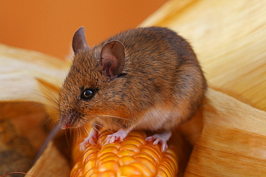 Wood Mouse (Apodemus sylvaticus) on Corn (Zea sp) cob, Hoogeloon, Netherlands  -  Silvia Reiche