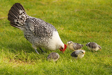 Domestic Chicken (Gallus domesticus) hen with chicks foraging, Hoogeloon, Netherlands  -  Silvia Reiche