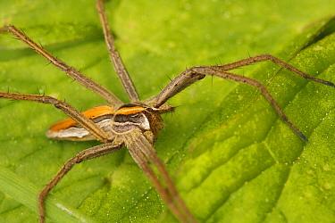 Nursery-web Spider (Pisaura mirabilis), Saint-Jory-las-Bloux, France  -  Silvia Reiche