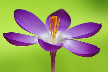 Dutch Crocus (Crocus vernus) flower, Hoogeloon, Netherlands  -  Silvia Reiche