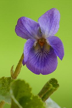 Sweet Violet (Viola odorata) flower, Hoogeloon, Netherlands  -  Silvia Reiche