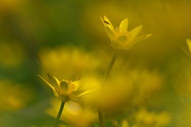 Lesser Celandine (Ranunculus ficaria) flowers, Hoogeloon, Netherlands  -  Silvia Reiche