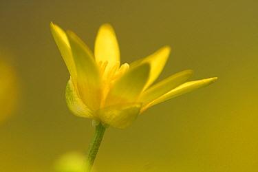 Lesser Celandine (Ranunculus ficaria) flower, Hoogeloon, Netherlands  -  Silvia Reiche