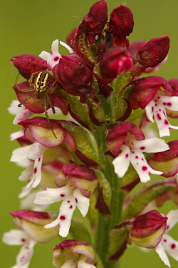 Burnt Orchid (Neotinea ustulata) flowers with spider, Saint-Jory-las-Bloux, France  -  Silvia Reiche