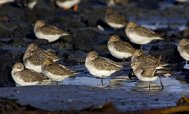 Dunlin (Calidris alpina) sleeping on tidal flats at low tide in autumn, Northumberland, England  -  Duncan Usher