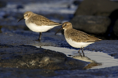 Dunlin (Calidris alpina) pair on tidal flats at low tide in autumn, Northumberland, England  -  Duncan Usher
