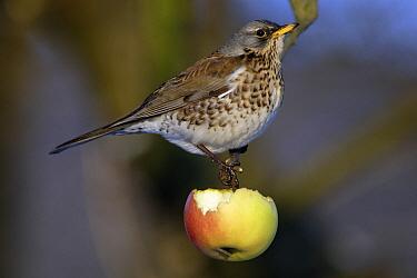 Fieldfare (Turdus pilaris) feeding on apple, Germany  -  Duncan Usher