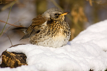 Fieldfare (Turdus pilaris) in snow, Germany  -  Duncan Usher