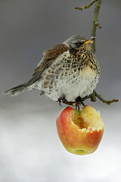 Fieldfare (Turdus pilaris) feeding on apple, Germany  -  Duncan Usher