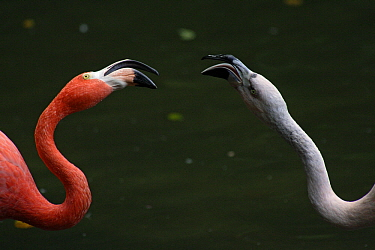 Greater Flamingo (Phoenicopterus ruber) and Chilean Flamingo (Phoenicopterus chilensis) fighting over food in captivity, Dortmund, Germany  -  Duncan Usher