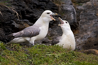 Northern Fulmar (Fulmarus glacialis) pair squabbling on sea cliff, Northumberland, England  -  Duncan Usher
