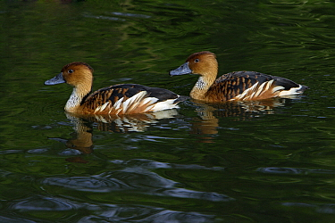 Fulvous Whistling Duck (Dendrocygna bicolor) pair, Northumberland, England  -  Duncan Usher