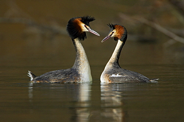 Great Crested Grebe (Podiceps cristatus) pair displaying, Hessen, Germany  -  Duncan Usher