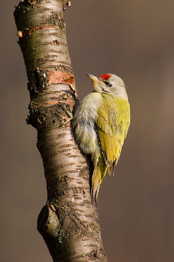 Grey-headed Woodpecker (Picus canus) male, Germany  -  Duncan Usher
