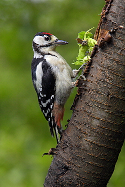 Great Spotted Woodpecker (Dendrocopos major) juvenile feeding on hazelnuts, Germany  -  Duncan Usher
