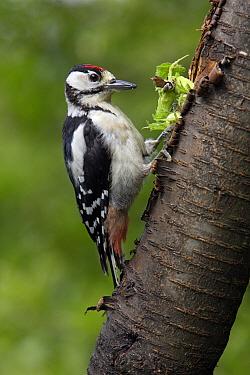 Great Spotted Woodpecker (Dendrocopos major) juvenile feeding on hazelnuts, Germany  -  Duncan Usher