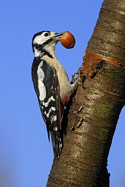 Great Spotted Woodpecker (Dendrocopos major) female feeding on hazelnut, Germany  -  Duncan Usher