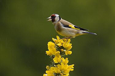 European Goldfinch (Carduelis carduelis) calling in the rain, Northumberland, England  -  Duncan Usher