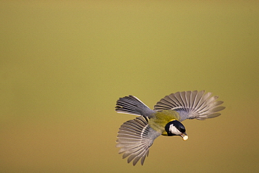 Great Tit (Parus major) flying with peanut, Lower Saxony, Germany  -  Duncan Usher