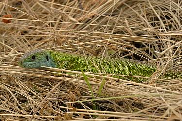 Western Green Lizard (Lacerta bilineata) in grass  -  Silvia Reiche