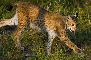 Eurasian Lynx (Lynx lynx) walking, Neuhaus, Germany  -  Willi Rolfes/ NIS
