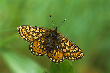 Marsh Fritillary (Euphydryas aurinia) butterfly, with wings open, Europe  -  Derek Middleton/ FLPA