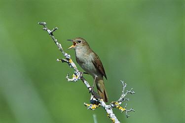 Nightingale (Luscinia megarhynchos) singing from perch, Europe  -  Derek Middleton/ FLPA