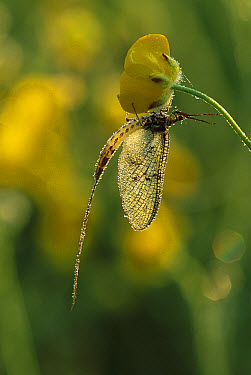 Common Burrower Mayfly (Ephemera danica) covered in dew, Europe  -  Jeremy Early/ FLPA