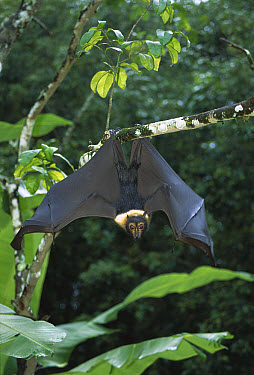 Little Red Flying Fox (Pteropus scapulatus) hanging upside-down, Australia  -  Martin Withers/ FLPA