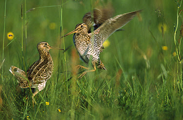 Great Snipe (Gallinago media) two males competing for females in tall grass, Poland  -  Terry Andrewartha/ FLPA