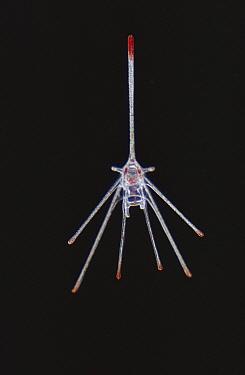 Sea Potato (Echinocardium cordatum) larval stage, North Sea  -  D.P. Wilson/ FLPA