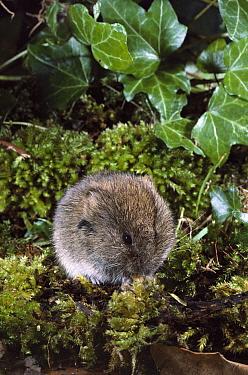 Field Vole (Microtus agrestis) on moss-covered wood, Europe  -  Michael Rose/ FLPA