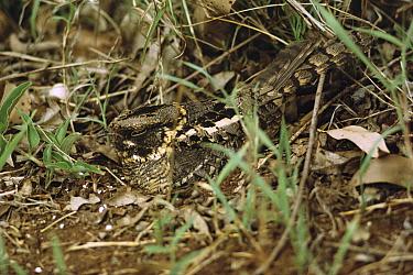 Eurasian Nightjar (Caprimulgus europaeus) camouflaged on ground nest, Europe  -  John Karmali/ FLPA
