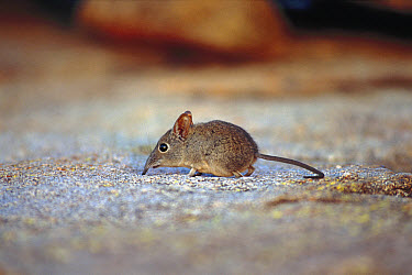 Rufous Elephant Shrew (Elephantulus rufescens) portrait, side view, native to Africa  -  Martin Withers/ FLPA