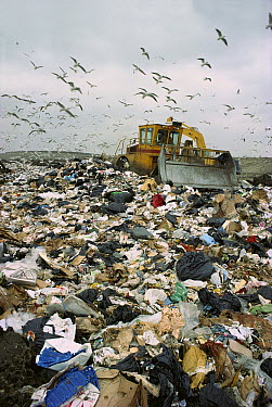 Gulls following bulldozer at dump where they feed in winter, Europe  -  John Watkins/ FLPA