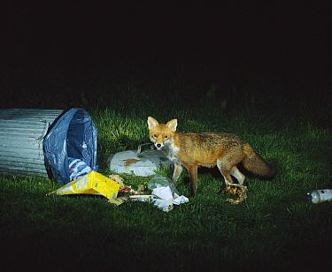 Red Fox (Vulpes vulpes) at rubbish bin at night, Europe  -  Jean Hall/ FLPA