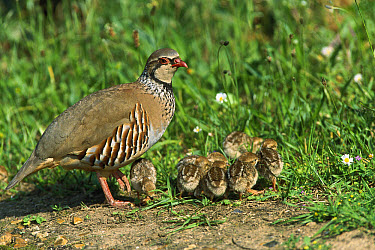 Red-legged Partridge (Alectoris rufa) parent with young chicks, Norfolk, England  -  Terry Andrewartha/ FLPA