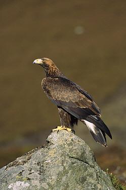 Golden Eagle (Aquila chrysaetos) on boulder, North America  -  Michael Callan/ FLPA