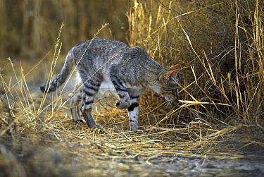African Wild Cat (Felis lybica) stalking prey in the Kalahari Desert, Gemsbok National Park, Botswana  -  Philip Perry/ FLPA