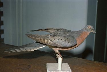 Passenger Pigeon (Ectopistes migratorius) stuffed museum specimen of extinct species, North America  -  Frank Lane/ FLPA